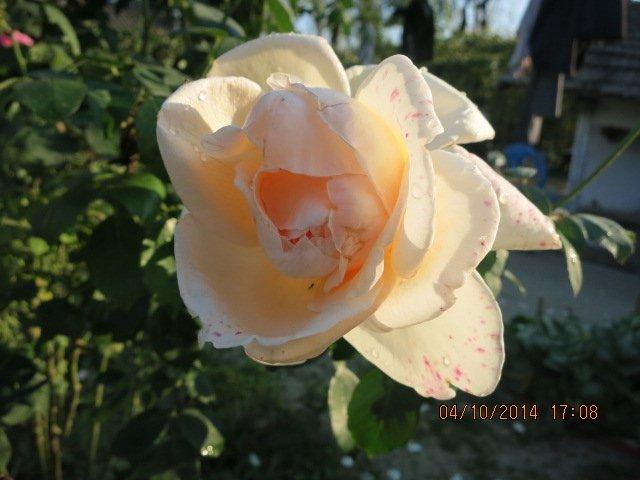 trandafir toamna