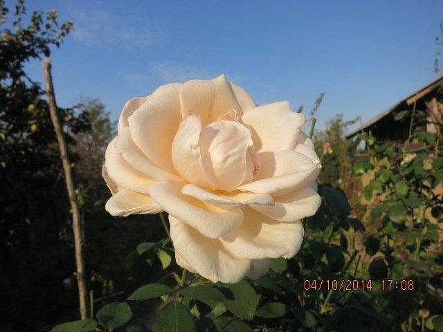 trandafirr